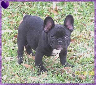 Our Frenchies start at $2000.00. French Bulldogs are one